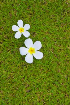 Free Thai Flower On Grass Background Royalty Free Stock Photography - 14632427