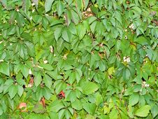 Leaves Of A Vine Stock Photos