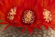 Free Red Cactus Flowers Stock Photos - 14632723