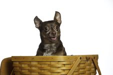 Free Rat Terrier In A Picnic Basket Looking For Food Stock Photo - 14633270