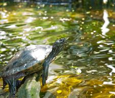 Free Slider Turtle Royalty Free Stock Photo - 14633545
