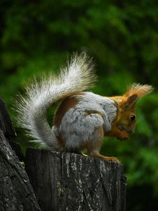 Free Squirrel On Tree Stock Photography - 14634302