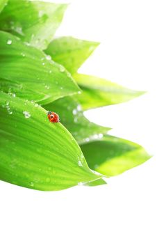 Free Ladybird Sitting On A Leaf With Drops Of Water Royalty Free Stock Image - 14634576
