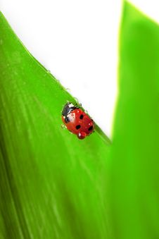 Free Ladybird Sitting On A Leaf With Drops Of Water Stock Photography - 14634622