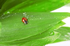 Free Ladybird Sitting On A Leaf With Drops Of Water Royalty Free Stock Photos - 14634648