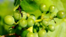 Free Ant On Grapes Stock Image - 14634831