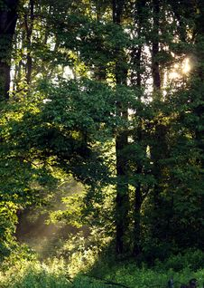 Free Morning Sunlight In Forest Royalty Free Stock Photos - 14634848