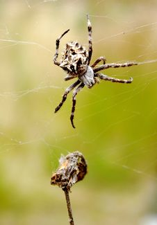 Free Spider With Its Prey Royalty Free Stock Photography - 14634857