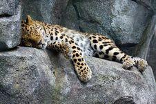 Free Amur Leopard Resting Stock Photo - 14634870
