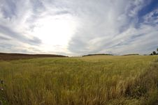Free Wheat Field, Harvest Royalty Free Stock Photos - 14634938