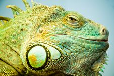 Free Iguana-saurus Stock Photography - 14635182