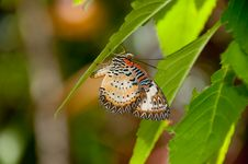 Free Lacewing Royalty Free Stock Images - 14635189