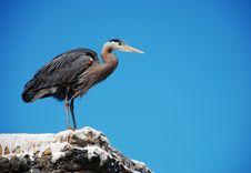 Free Great Blue Heron Stock Photos - 14635233