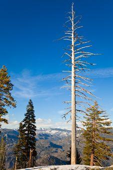 Free White Tree Royalty Free Stock Photography - 14636267