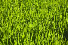 Free Harmonic Structure Of Green Corn Royalty Free Stock Photos - 14636558