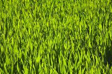 Harmonic Structure Of Green Corn Royalty Free Stock Photos