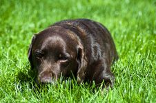 Free Labrador Resting In Grass Stock Photo - 14637100