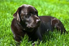 Free Labrador In Grass Royalty Free Stock Photo - 14637135