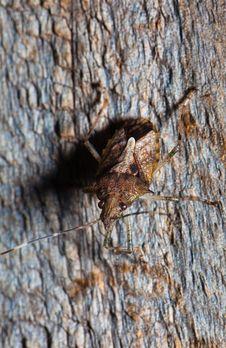 Free Camouflaged Stink Bug Royalty Free Stock Images - 14637719