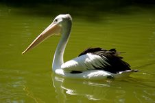 Free Pelican On Water Royalty Free Stock Photo - 14638515