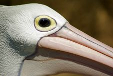 Free Pelican Head Royalty Free Stock Photo - 14638575