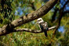 Free Australian Laughing Kookaburra Stock Images - 14638724