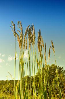 Free Wild Grass Royalty Free Stock Image - 14638776