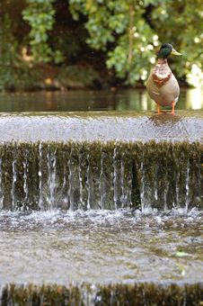 Free Duck On A Weir Royalty Free Stock Photos - 14638908