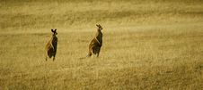 Free Kangaroos Stock Photography - 14639062