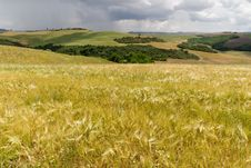 Free Cornfield - Tuscany Royalty Free Stock Image - 14639196
