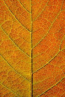 Free Leaf Closeup Royalty Free Stock Images - 14639339