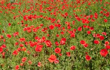 Free Red Poppy Stock Photos - 14639543