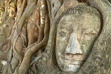 Free Head Of Buddha Statue In Tree, Ayutthaya Royalty Free Stock Image - 14639556