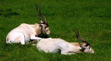 Adax Antelope Royalty Free Stock Photo
