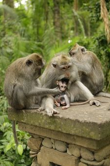 Free Family Of Monkeys Royalty Free Stock Photos - 14639718