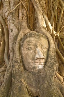 Free Head Of Buddha Statue In Tree, Ayutthaya Royalty Free Stock Image - 14639726