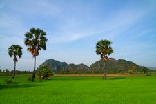 Free Young Rice Field With Palm Trees Royalty Free Stock Photos - 14639778