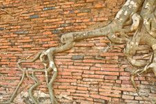 Roots Of A Fig Tree. Stock Image