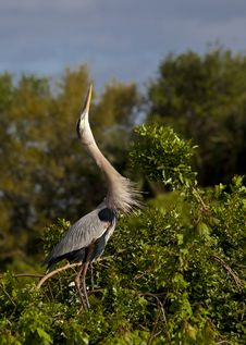 Free Great Blue Heron Royalty Free Stock Images - 14639889