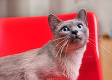 Free Curious Siamese On Red Chair Looking Up Stock Image - 14639911