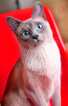 Blue-point Siamese Seated On A Plastic Red Chair Stock Images