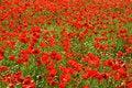 Free Poppies Stock Image - 14641121