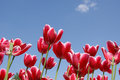 Free Red Tulips Stock Image - 14648201