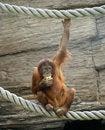 Free Big Terrible Orangutan Royalty Free Stock Photos - 14648848