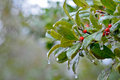 Free Frozen Plant With Berries Royalty Free Stock Photos - 14648968