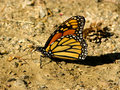 Free Monarch Butterfly Royalty Free Stock Photos - 14649508