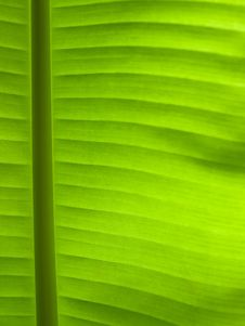 Free Green Leaf Line Royalty Free Stock Image - 14640646