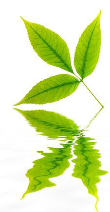 Green Leaf Of Tree. Royalty Free Stock Images