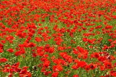 Free Poppies Stock Image - 14641121