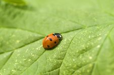 Free Ladybird Royalty Free Stock Photo - 14641625